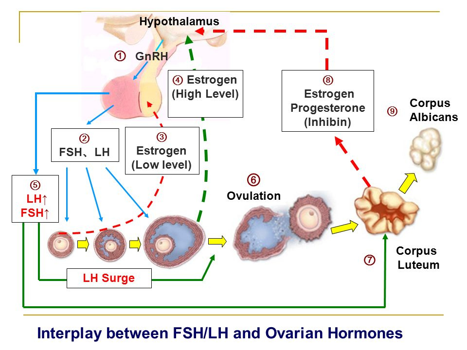 estrogen and fsh relationship