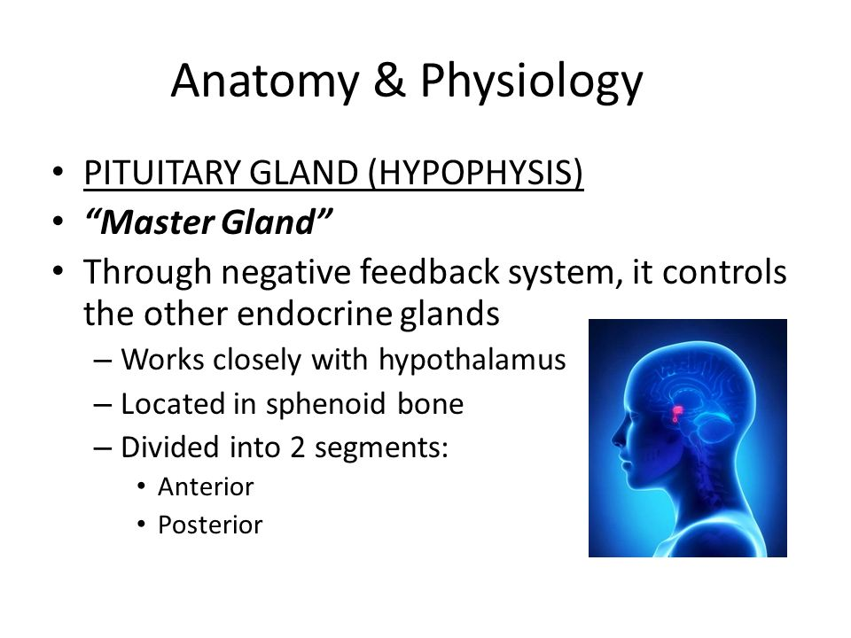 a description of the anatomy and physiology of the pituitary gland The hypothalamus and pituitary gland has attracted the interest of scientists and artists for centuries since the first description by galen of pergamon in the 2nd century ad.