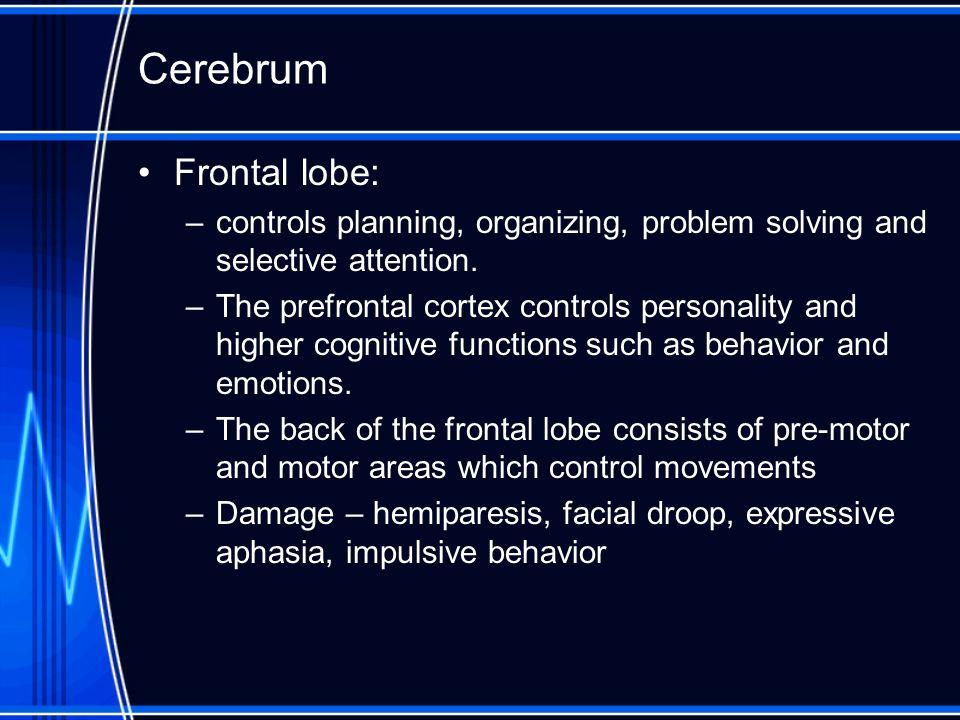 Cerebrum Frontal lobe: