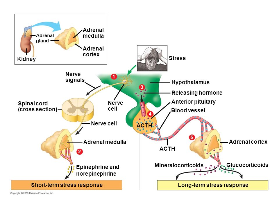 Short Term Stress : Hormones and the endocrine system ppt download