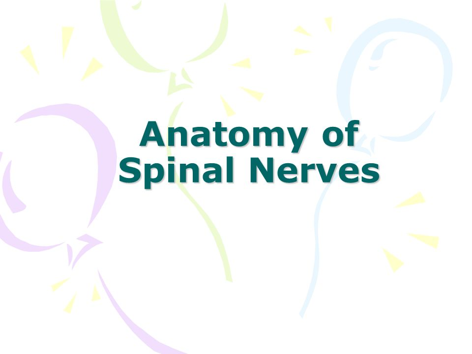 Anatomy of Spinal Nerves - ppt video online download