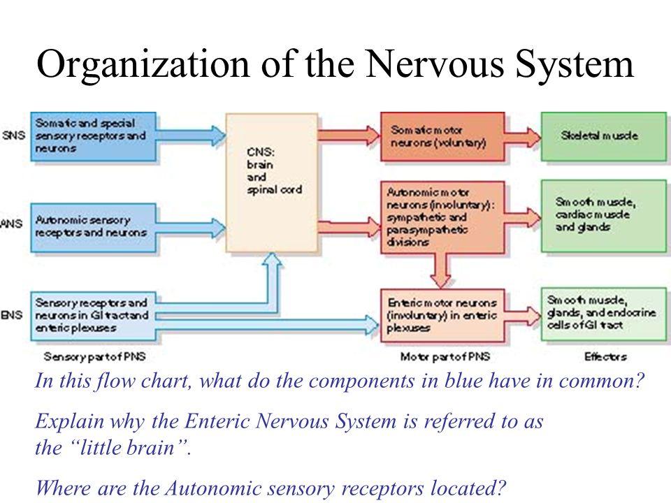 Central nervous system chart mersnoforum central nervous system chart ccuart Gallery