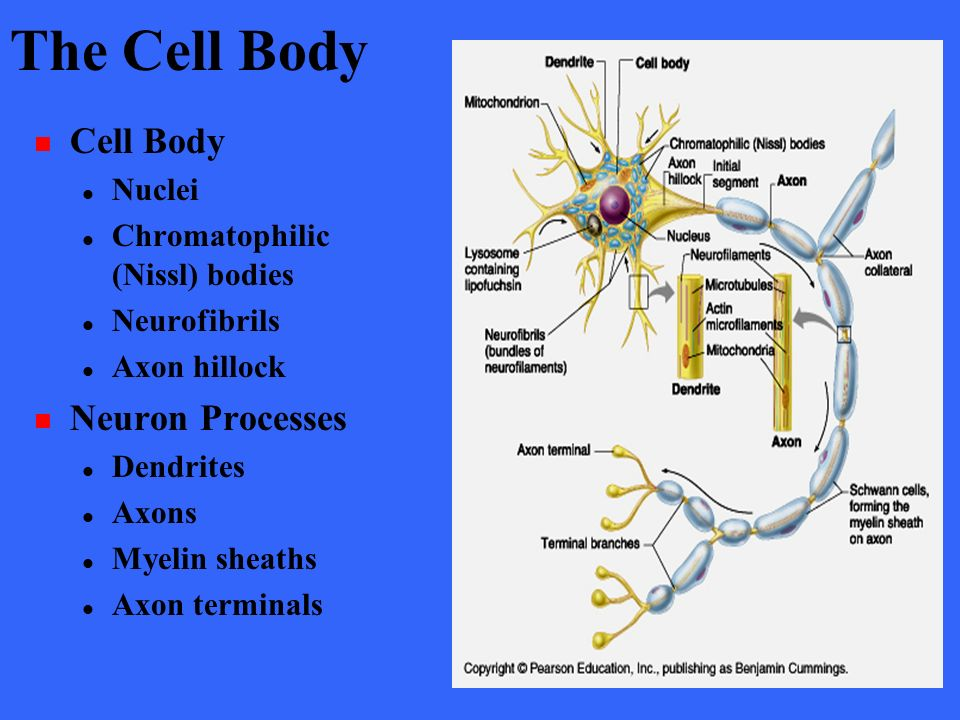 neuron cell body from - photo #11