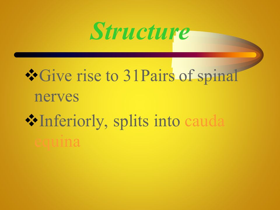 Structure Give rise to 31Pairs of spinal nerves