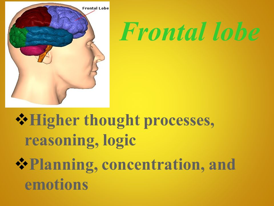 Frontal lobe Higher thought processes, reasoning, logic