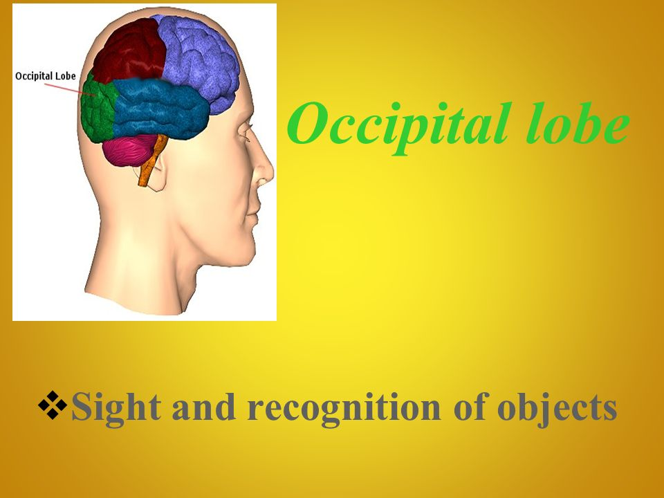 Occipital lobe Sight and recognition of objects