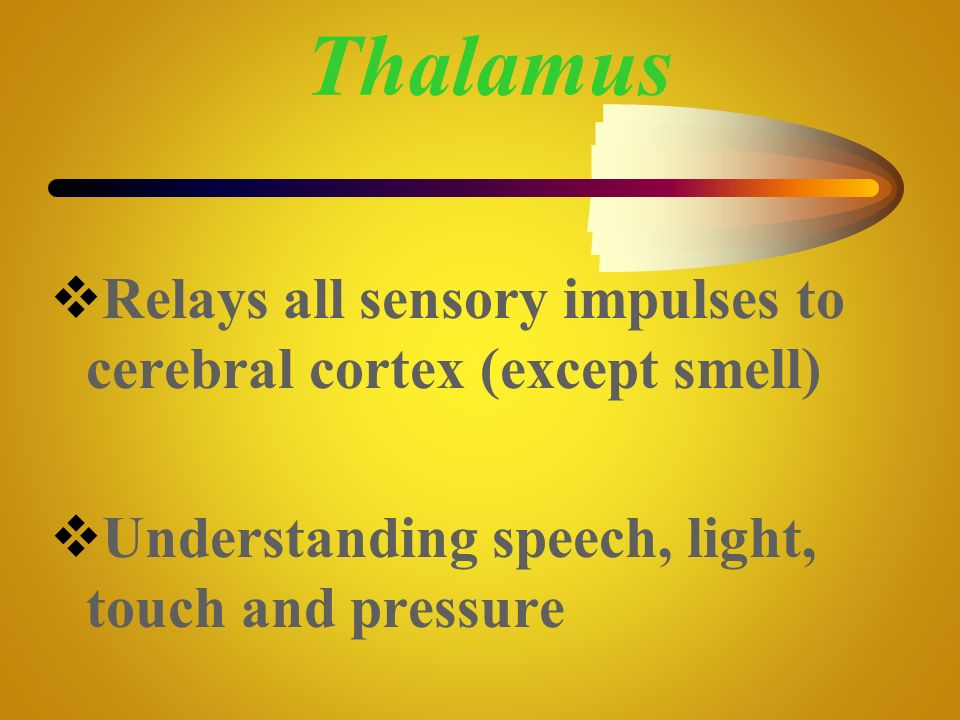 Thalamus Relays all sensory impulses to cerebral cortex (except smell)