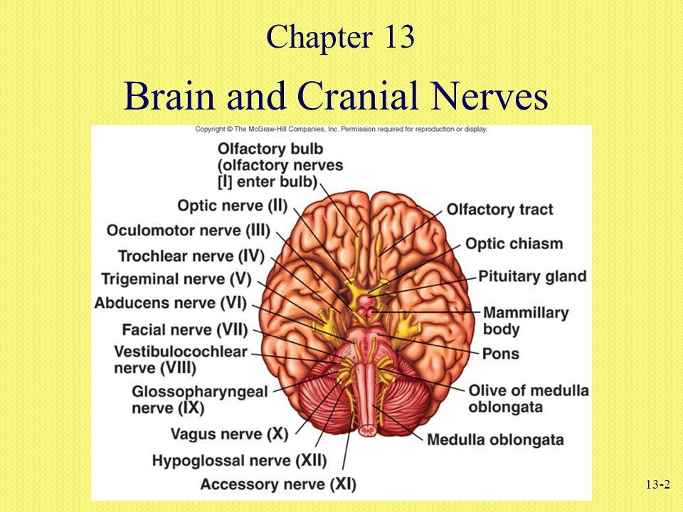 Ungewöhnlich Cranial Nerves Anatomy And Physiology Coloring Workbook ...