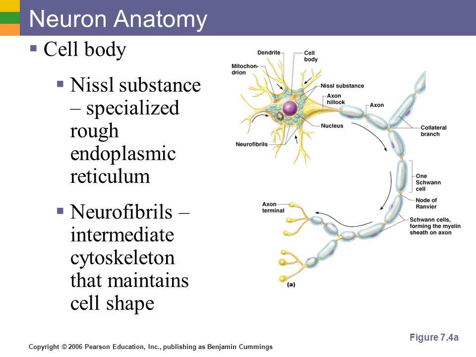 Großzügig Anatomie Des Neurons Bilder - Anatomie Von Menschlichen ...