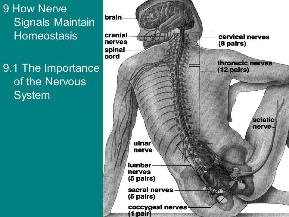 9 How Nerve Signals Maintain Homeostasis