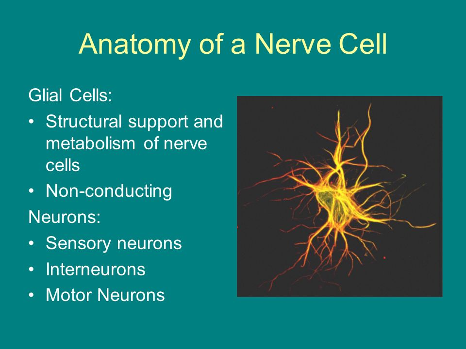 Anatomy of a Nerve Cell Glial Cells: