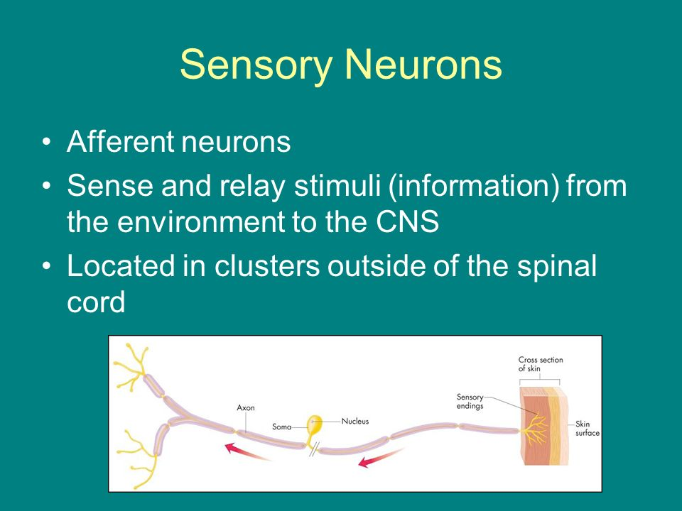 Sensory Neurons Afferent neurons