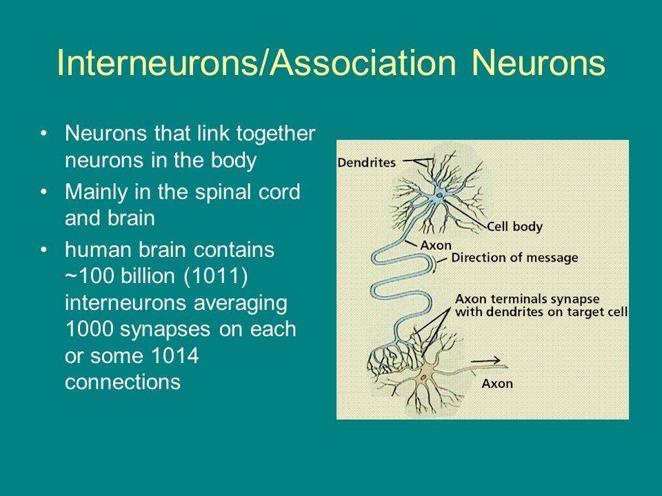 Interneurons/Association Neurons