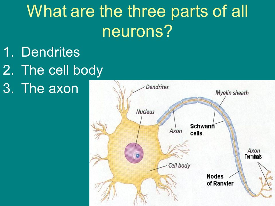 What are the three parts of all neurons