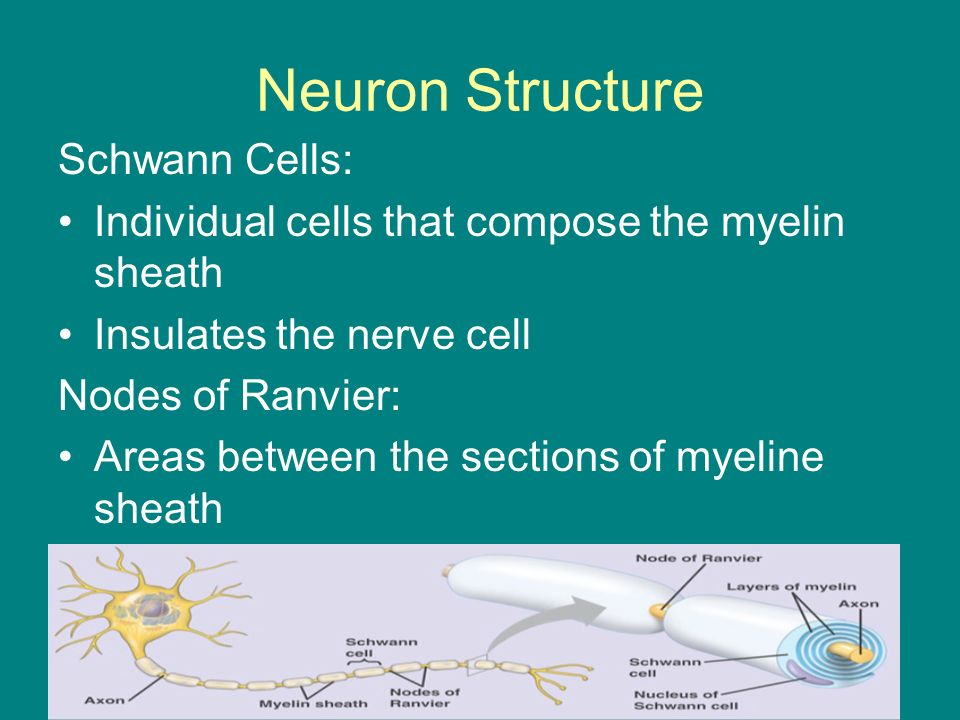 Neuron Structure Schwann Cells: