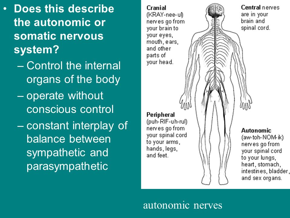 Does this describe the autonomic or somatic nervous system