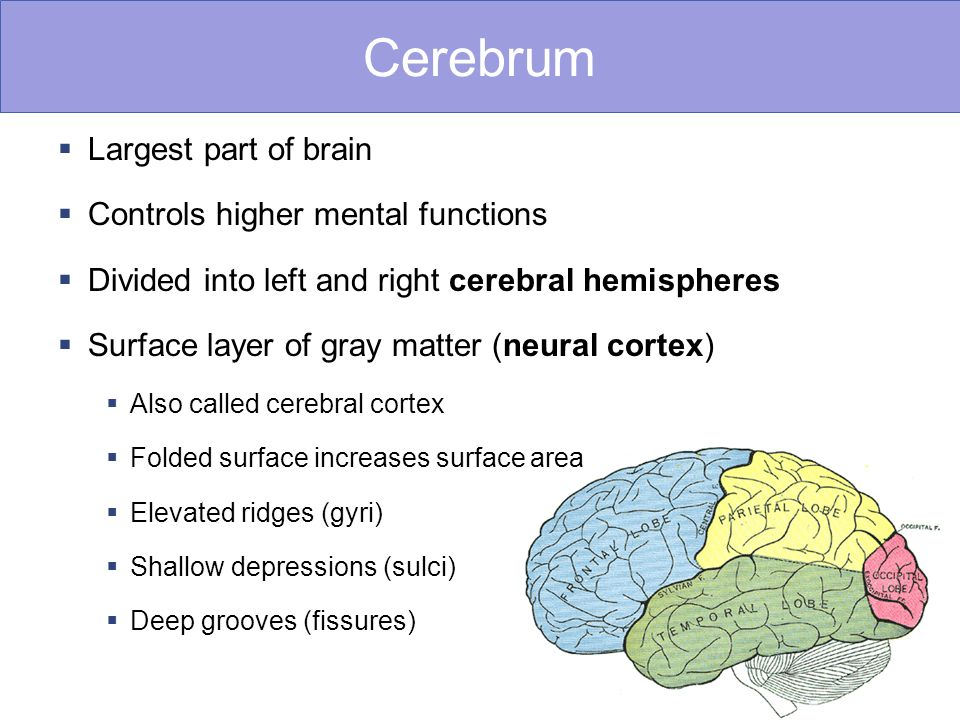 Cerebrum Largest part of brain Controls higher mental functions