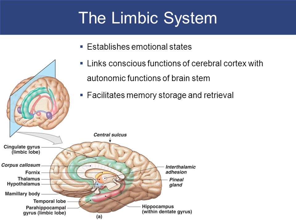 The Limbic System Establishes emotional states