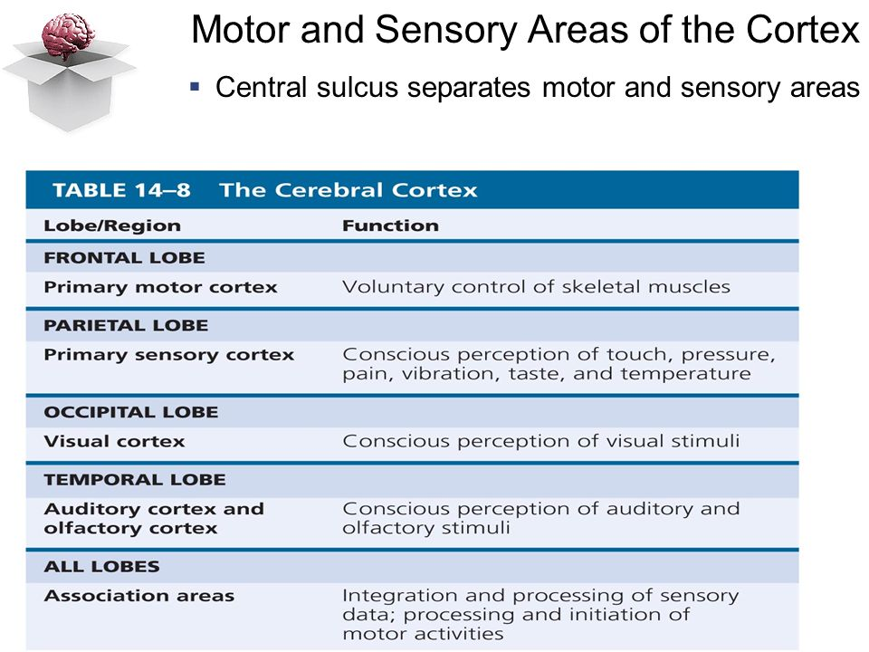 Motor and Sensory Areas of the Cortex