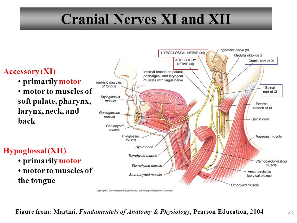 Perfecto Anatomy And Physiology Cranial Nerves Regalo - Imágenes de ...