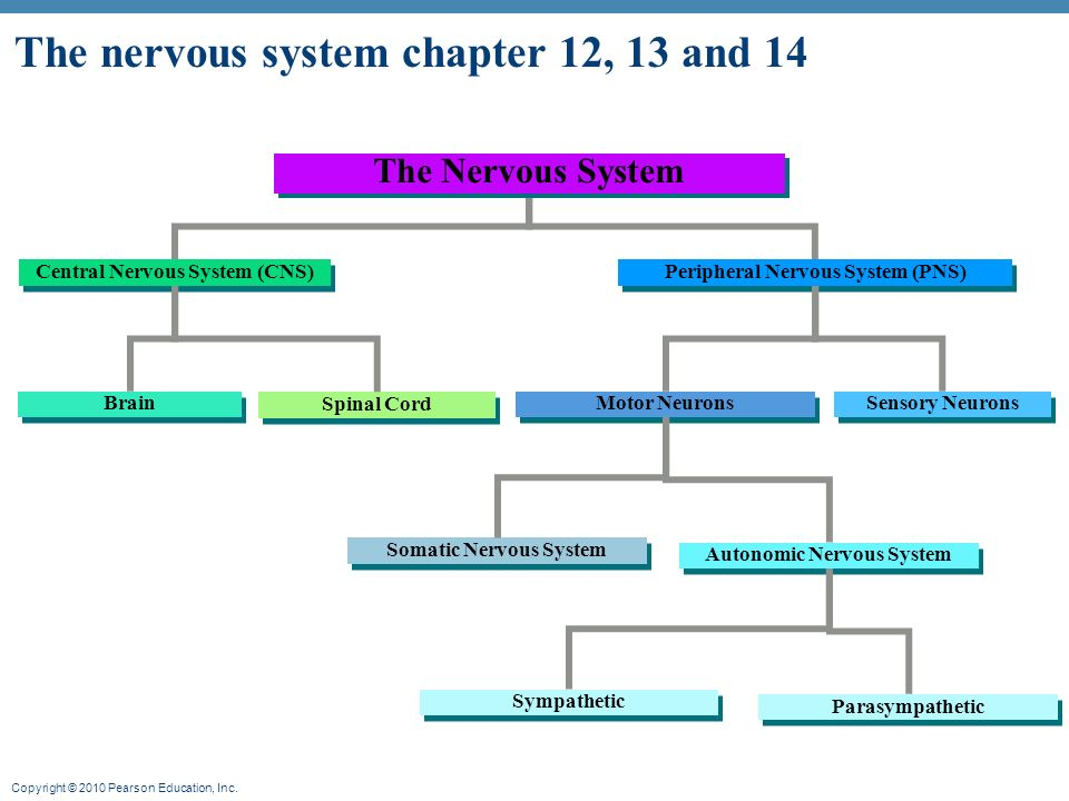 The nervous system chapter 12, 13 and ppt video online download