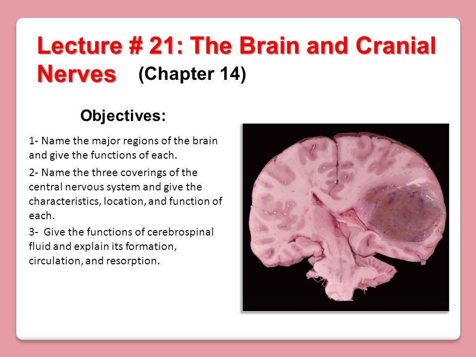 Lecture # 21: The Brain and Cranial Nerves