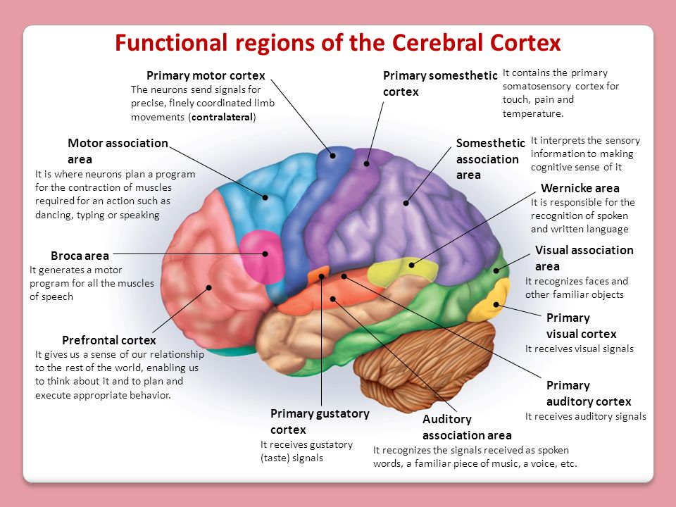 Functional regions of the Cerebral Cortex