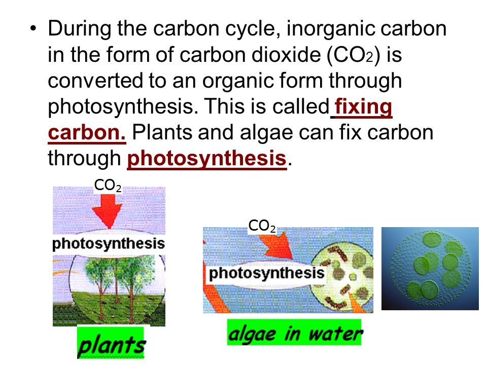 During the carbon cycle, inorganic carbon in the form of carbon dioxide (CO2) is converted to an organic form through photosynthesis.