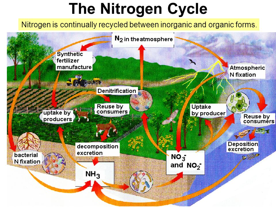 The Nitrogen Cycle Nitrogen is continually recycled between inorganic and organic forms.