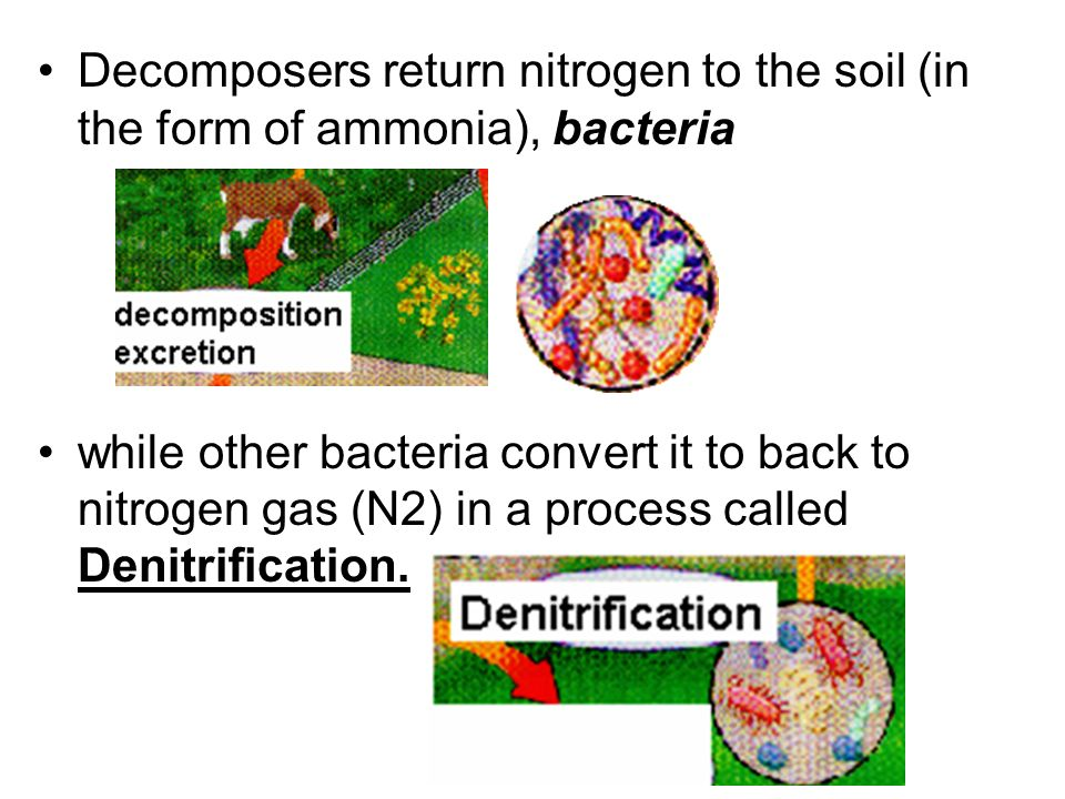 Decomposers return nitrogen to the soil (in the form of ammonia), bacteria
