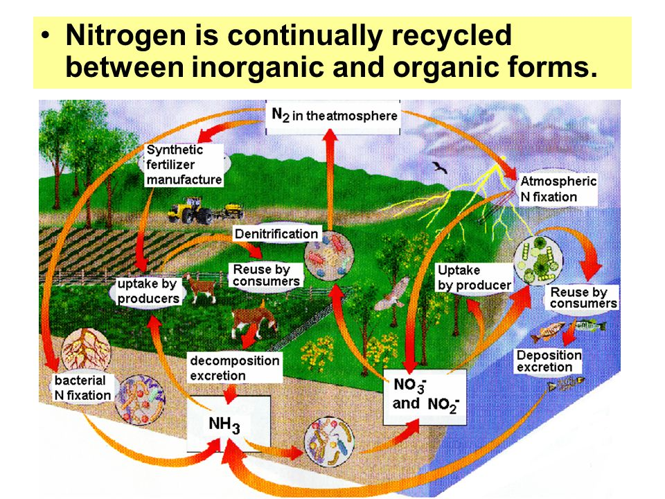 Nitrogen is continually recycled between inorganic and organic forms.