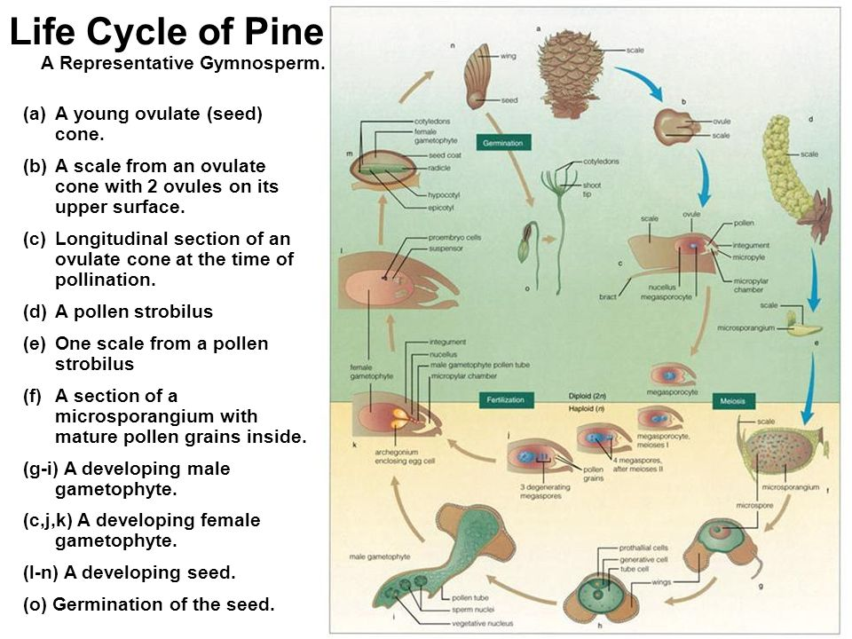 Simple Gymnosperm Life Cycle