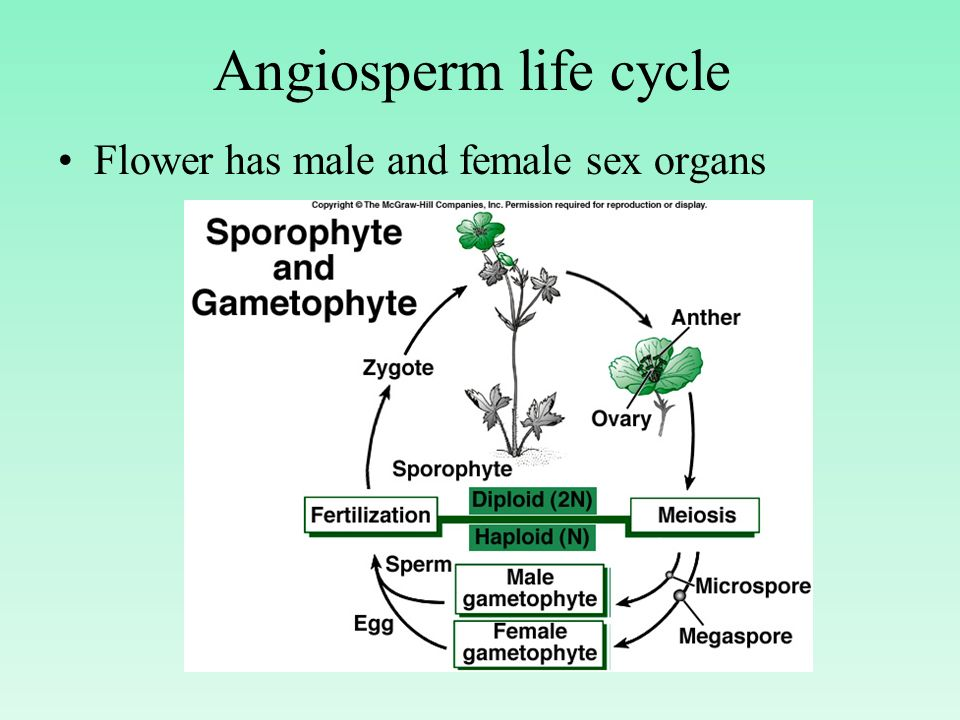 Angiosperm life cycle Flower has male and female sex organs