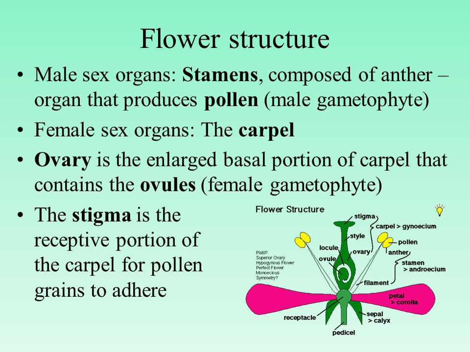 Flower structure Male sex organs: Stamens, composed of anther – organ that produces pollen (male gametophyte)