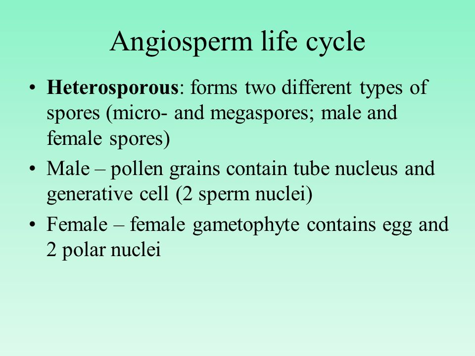Angiosperm life cycle Heterosporous: forms two different types of spores (micro- and megaspores; male and female spores)