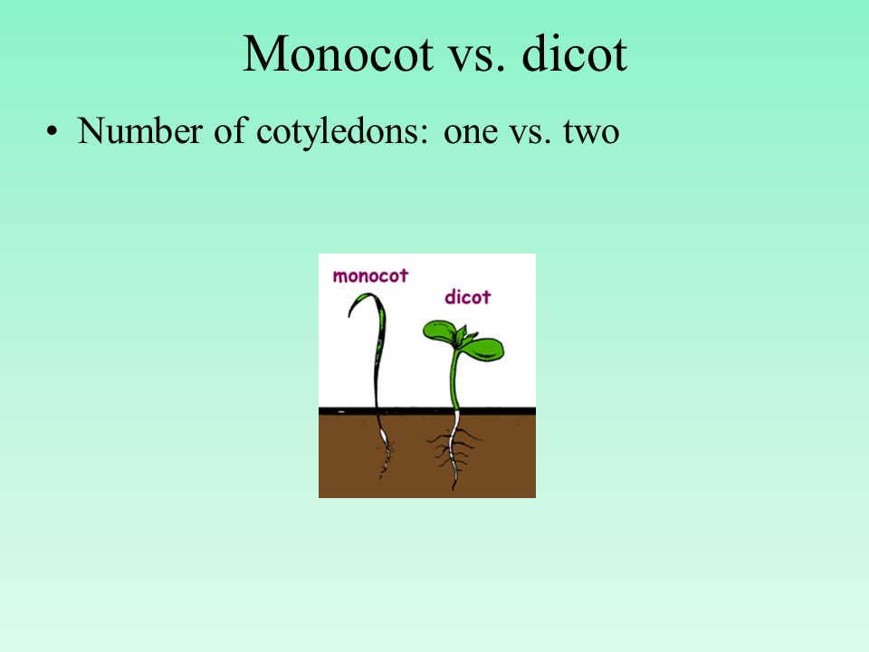 Monocot vs. dicot Number of cotyledons: one vs. two