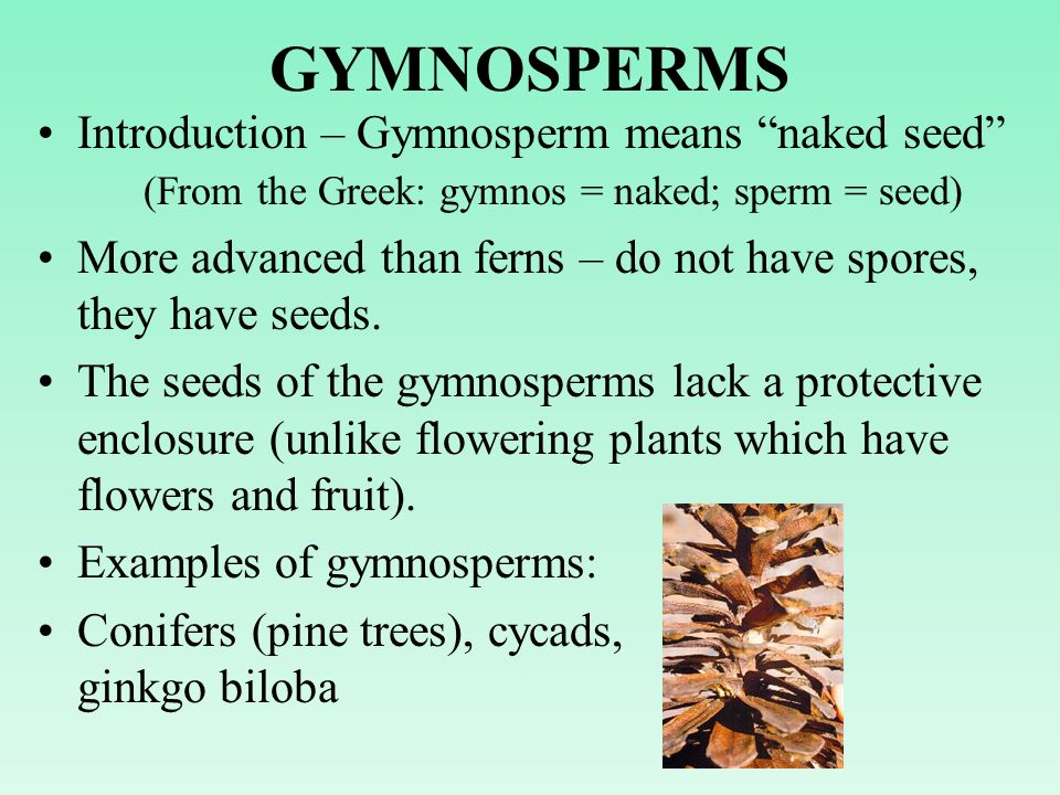 GYMNOSPERMS Introduction – Gymnosperm means naked seed (From the Greek: gymnos = naked; sperm = seed)