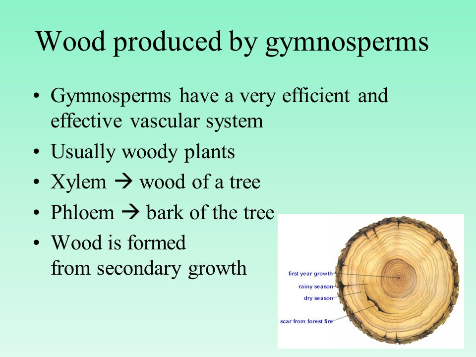 Wood produced by gymnosperms