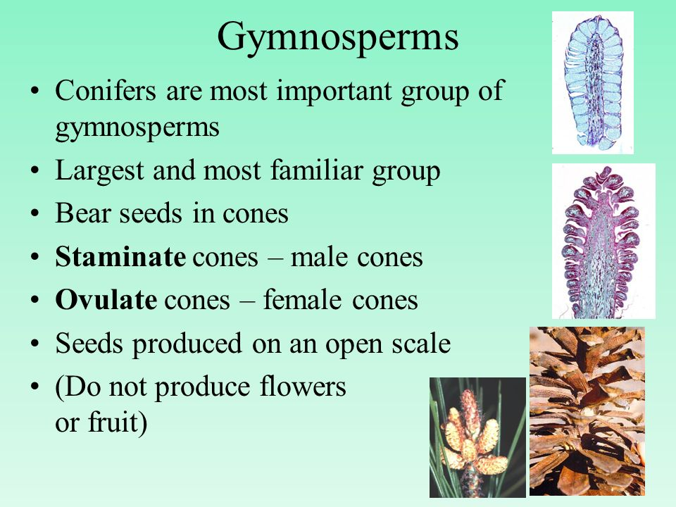 Gymnosperms Conifers are most important group of gymnosperms