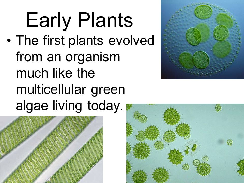 Early Plants The first plants evolved from an organism much like the multicellular green algae living today.