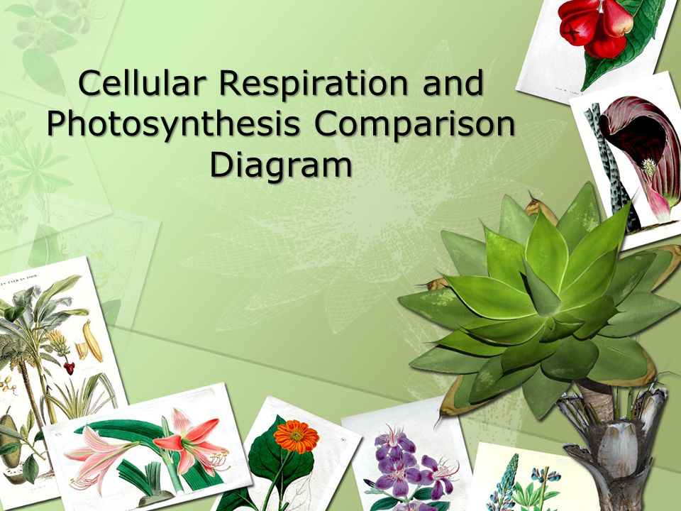 Cellular Respiration and Photosynthesis Comparison Diagram