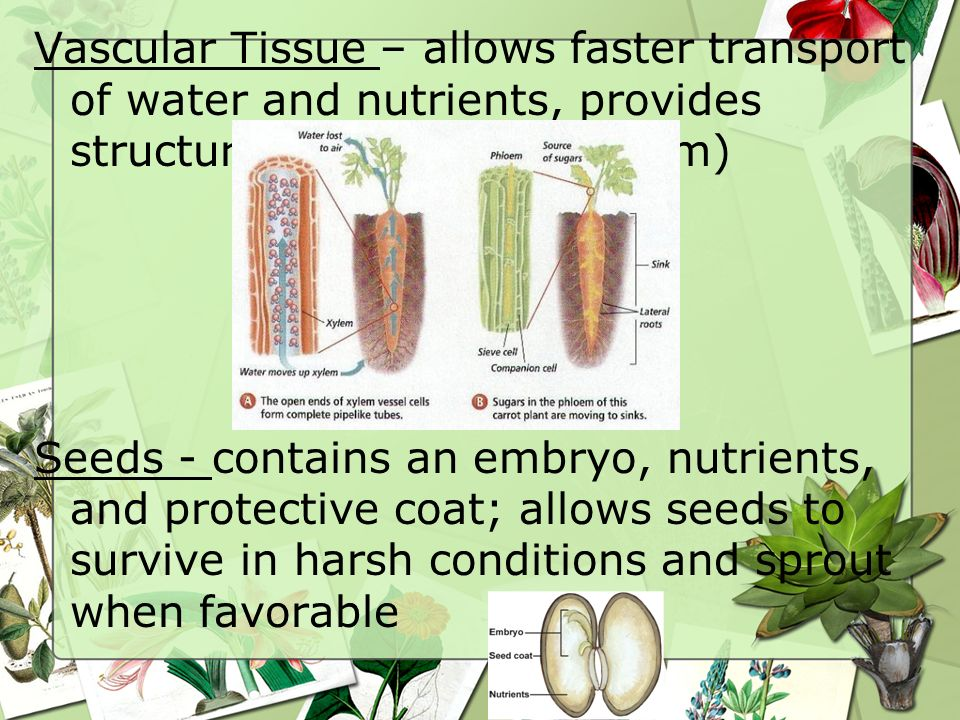 Vascular Tissue – allows faster transport of water and nutrients, provides structure (xylem and phloem) Seeds - contains an embryo, nutrients, and protective coat; allows seeds to survive in harsh conditions and sprout when favorable