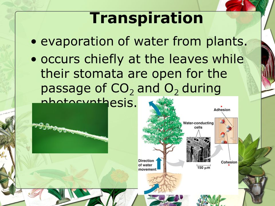 Transpiration evaporation of water from plants.