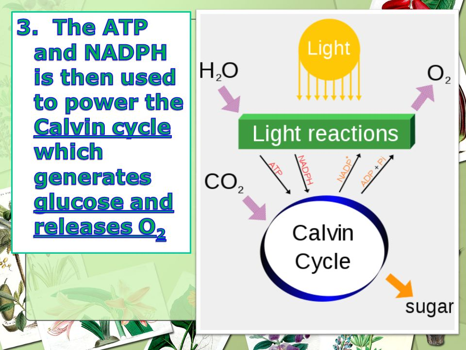 3. The ATP and NADPH is then used to power the Calvin cycle which generates glucose and releases O2
