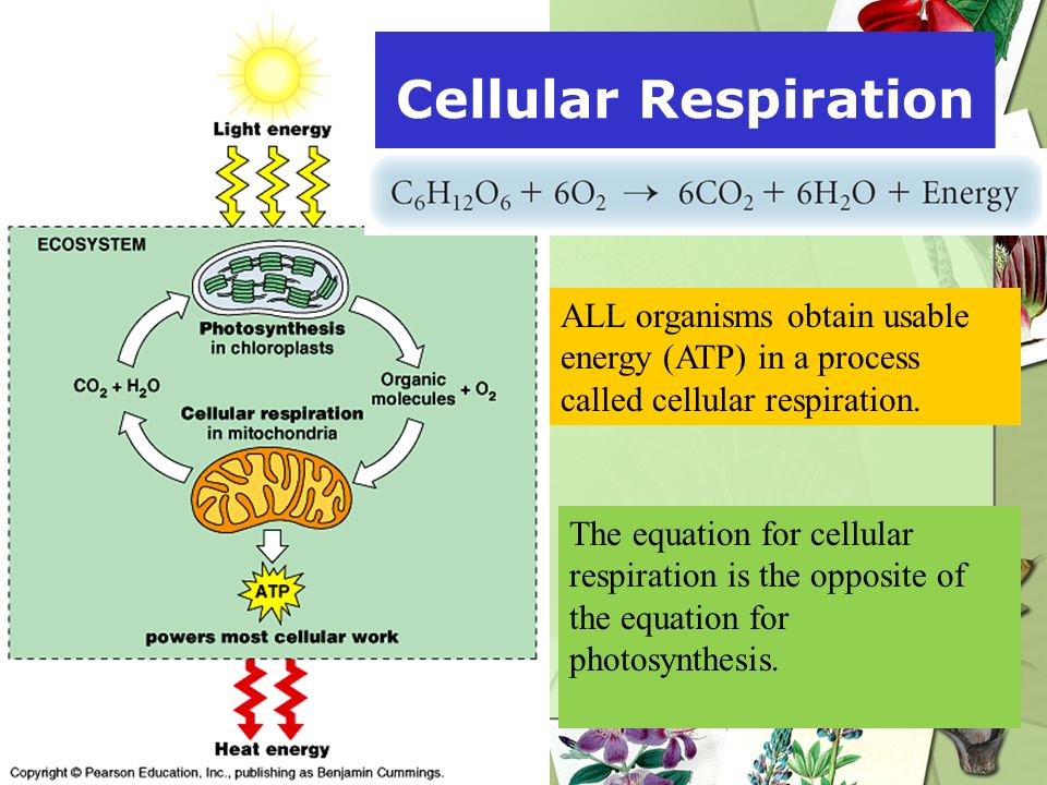 Cellular Respiration ALL organisms obtain usable energy (ATP) in a process called cellular respiration.