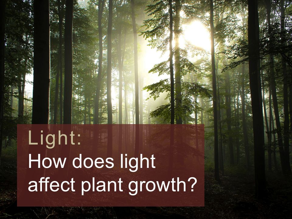 how do different colored lights affect plant growth How does light affect plant growth do different colors of light work better than others find out in this classic science fair project idea.