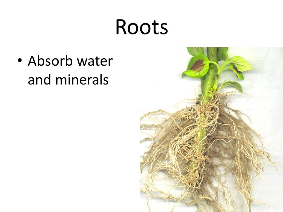 Roots Absorb water and minerals