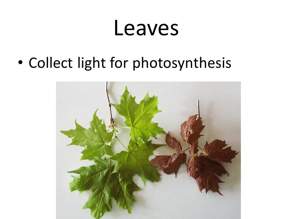 Leaves Collect light for photosynthesis