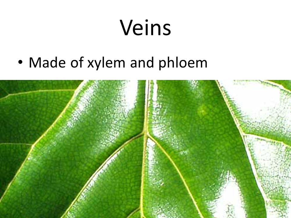 Veins Made of xylem and phloem