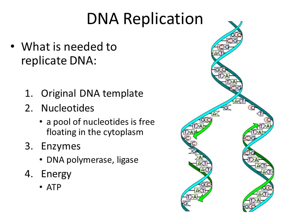 Microbial genetics ppt video online download for What is a template in dna